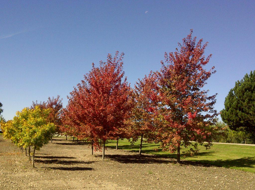 Autumn Blaze Maples & Chestnuts