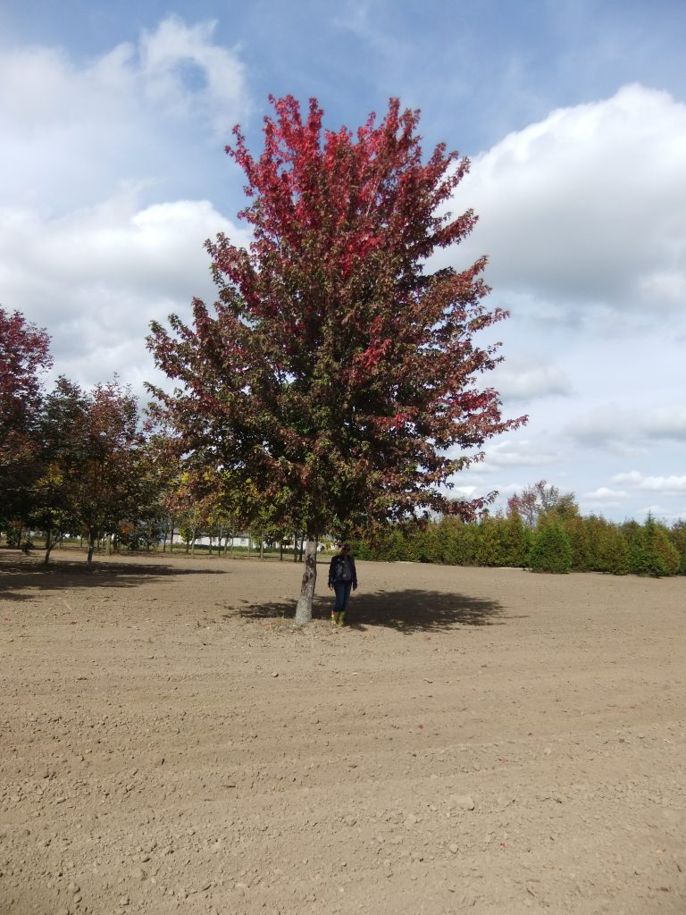 Extra Large Autumn Blaze Maple