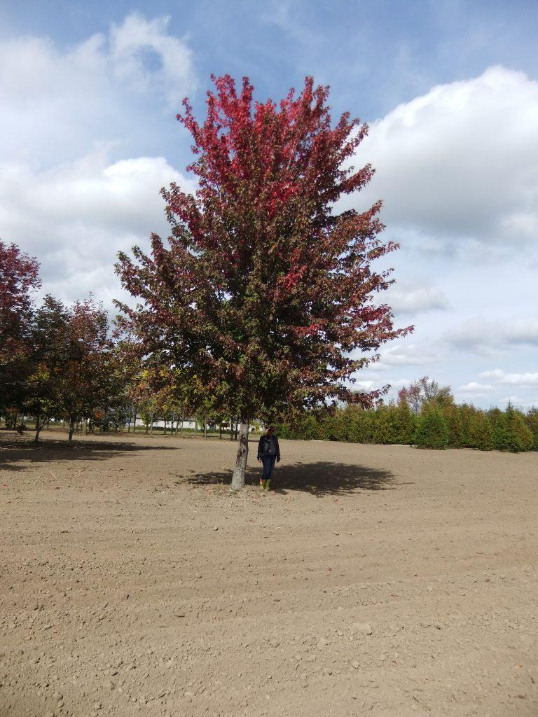 Extra Large Autumn Blaze Maple