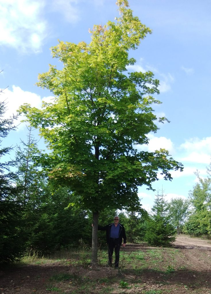 Extra Large Sugar Maple
