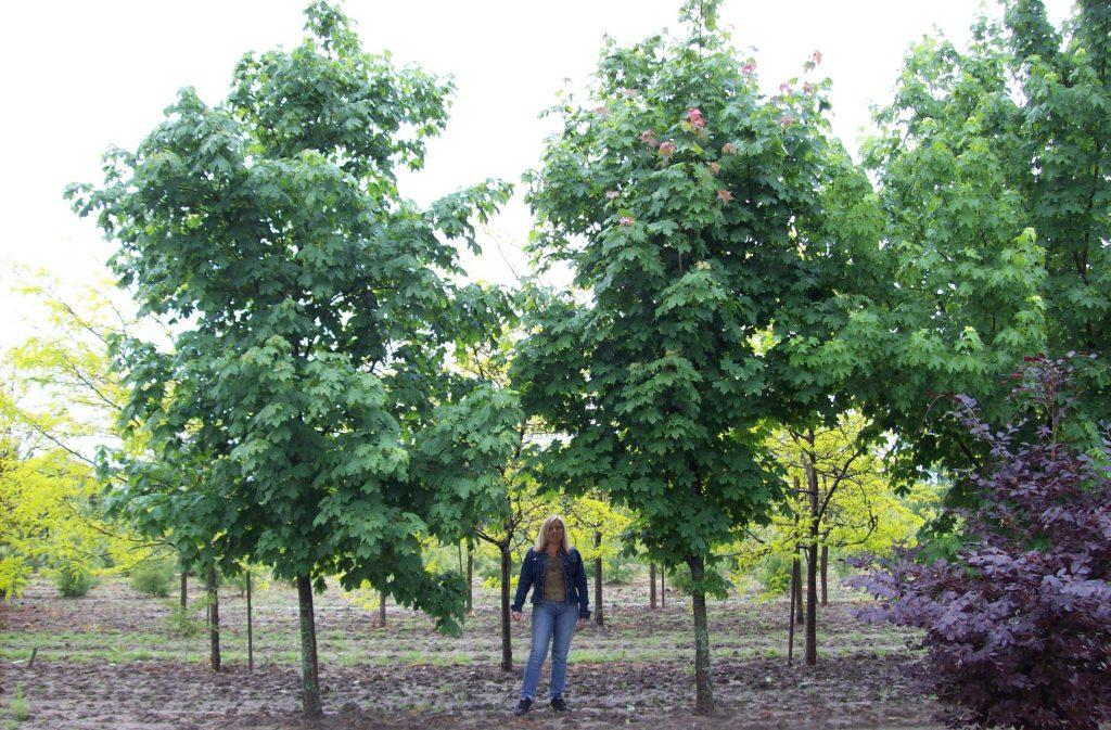 Norway Maples
