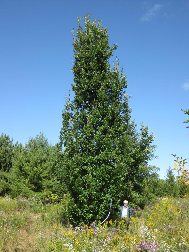 Pyramidal English Oak