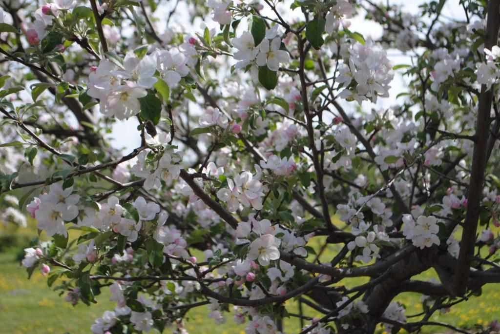 Spring Apple Trees