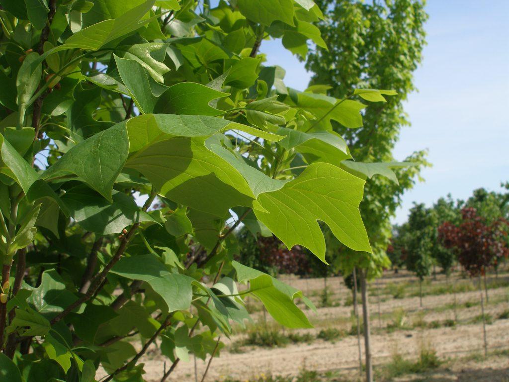 Tupil Tree Leafs